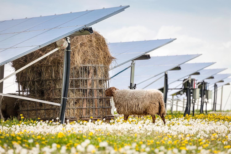 Erneuerbare Energie Schaf Photovoltaik